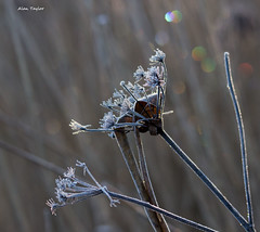 Frosty seedhead (Alan-Taylor) Tags: uk england nature canon frost lancashire seedhead rspb 600d sigma120400 rspbleightonmoss