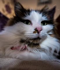 Tilly (Up Close) (Panasonic Lumix LX100) (markdbaynham) Tags: leica pet cute face animal cat four lumix feline panasonic fixed ft tilly 43rd compact thirds 3legged lx evf zoomm lx100 2475mm f1728