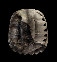 Snapping Turtle Shell (Chelydra serpentina) (Zachary Cava) Tags: turtle reptile anatomy development snappingturtle herpetology chelydra carapace chelydraserpentina scutes fontanelle osteology fontanel