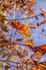 Amber Leaves Lavendar Sky (jess_clifton) Tags: nature amber leaf glow lavender mapleleaf treeleaves