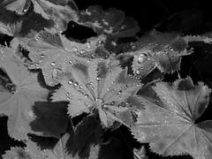 Sonnenschein und Regentropfen (Sockenhummel) Tags: bw leaves mono blackwhite fuji finepix sw fujifilm uni tau bltter x30 wassertropfen wannsee frauenmantel einfarbig schwarzweis maxliebermannvilla fujix30
