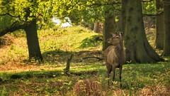 In the Shade Deer (ianderry64) Tags: light red tree mammal oak woods stag wildlife deer shade reddeer antler copse