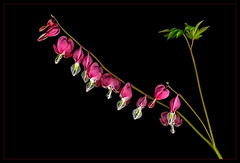 (Scanned Bleeding Hearts ) IN MEMORIAM Jocelyne Charbonneau a dear Flickr Friend  R.I.P. (scorpion (13)) Tags: sun plant flower color art nature hearts photo blossoms creative charbonneau bleeding memoriam in jocelyne