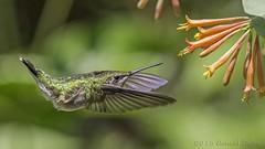 Ruby-throated Hummingbird (female) IMG_0108 (ronzigler) Tags: bird canon hummingbird wildlife 300mm f4 avian rubythroated songbird 14x 420mm birdwatchernature
