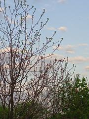 P5097113 (Paul Henegan) Tags: trees sky bird clouds cardinal f56 earlymorninglight mamiyasekore50mmf17ssn88315