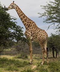 Giraffe (Sheldrickfalls) Tags: southafrica giraffe krugernationalpark mpumalanga krugerpark kruger skukuza kameelperd giraffebull