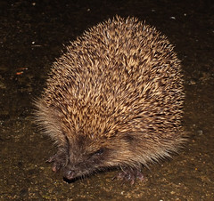 European hedgehog (Erinaceus europaeus) (shadowshador) Tags: life european wildlife hedgehog biology tetrapod animalia mammalia scientific taxonomy classification tetrapods chordata eutheria europaeus bilateria deuterostomia vertebrata gnathostomata tetrapoda amniota erinaceus eukaryota eumetazoa erinaceinae erinaceidae mammalogy theria laurasiatheria erinaceomorpha opisthokonta neomura holozoa filozoa boreoeutheria