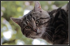 The Thomas Magnum Look (KeithJustKeith) Tags: pet cats animal cat canon eos kitten thomas tabby salford zoolander magnum 2016 100d keithjustkeith keithjustkeith2016