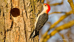 Red-Bellied Woodpecker By it's hole (Aria (RJWarren)) Tags: bird home nature birds canon woodpecker midwest hole nest wildlife iowa redbelliedwoodpecker melanerpescarolinus t3i prairiecity tamron150600mm
