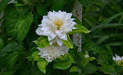 A Pale Yesterday (BKHagar *Kim*) Tags: white flower green nature leaves al alabama clematis bloom tanner bkhagar