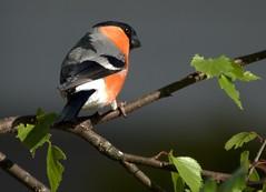 I see you! (janrs7) Tags: male bird may bullfinch pyrrhulapyrrhula wildbird dompap domherre
