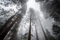 Sequoia National Park (Kamil Dziedzina Photos) Tags: travel trees forest giant nationalpark sequoia sequoianationalpark