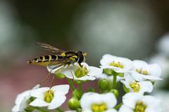 Hoverfly - Sphaerophoria sp. (Graham Dash) Tags: hoverflies flies insects macro tamron90mm28macro sphaerophoriasp