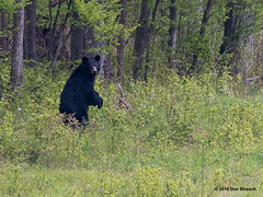 bear-butler road-Tioga County (dfbphotos) Tags: bear usa nature spring nikon wildlife may places pa animalplanet tioga 2016 tiogacounty butlerroad sabinsville