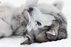 Husky ... ou pas ! (camel.arnaud) Tags: winter dog chien husky hiver siberian sled siberie traineau