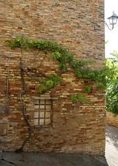 Cupra Marittima, Borgo Marano, Weinstock (grape vine) (HEN-Magonza) Tags: italien italy italia grapevine lemarche weinstock cupramarittima themarches diemarken borgomarano