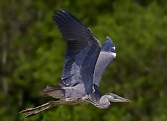 Grey Heron Juvenile ( ardea cinerea ) -full frame !! (Mid Glam Sam1) Tags: heron wales inflight close ardeacinerea greyheron