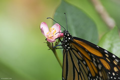 Butterfly 2016-70 (michaelramsdell1967) Tags: flowers light orange plant flower color detail macro green love nature beautiful beauty closeup butterfly garden insect hope spring nikon focus natural bokeh vibrant butterflies vivid insects zen monarch upclose