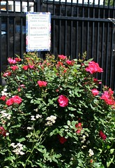 Holland Tunnel Garden Association (ktmqi) Tags: jerseycity newportjerseycity hudsonriver hudsoncounty garden publicgarden hollandtunnelgardenassociation rose beardediris