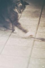 17...71 (WestonEyes) Tags: animal cat feline play grain translation repetition linear muted westoneyes