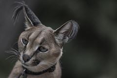 Caracal (YuccaYellow) Tags: portrait pet nature beautiful face closeup cat big eyes caracal