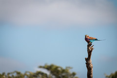 Lilac-breasted roller (Ryan Kilpatrick) Tags: birds rollers krugernationalpark lilacbreastedroller gewonetroupant typicalbird {coraciascaudatus}
