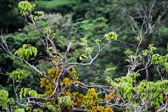 Toucan In A Tree (Neil R Meninick) Tags: colour tree birds toucan rainforest costarica tropical mangotree manuelantonio puravida