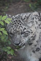 Snow Leopard (kylennadine) Tags: africa cats nature saint animal animals cat zoo louis big feline wildlife photograph felines zoos