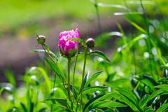 Peonies (SergeyKalugin) Tags: summer nature bokeh sony ngc peony a7 meyer gorlitz primotar