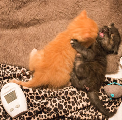 IMG_9711 (jaglazier) Tags: usa cats playing cute animals june unitedstates tiger indiana kittens bloomington mammals blackie 2016 6416 copyright2016jamesaglazierandjamesaferguson