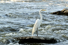 Great Egret Below The Dam (samurai66) Tags: county river illinois spring great fox kane egret