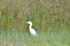 Egret- Cattle Egret, Texas,  Kleberg County, Padre Island National Seashore (EC Leatherberry) Tags: gulfofmexico texas wildlife nationalparkservice egret cattleegret bubulcusibis padreislandnationalseashore klebergcounty