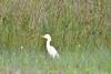 Egret- Cattle Egret, Texas,  Kleberg County, Padre Island National Seashore (EC Leatherberry) Tags: gulfofmexico texas wildlife nationalparkservice egret cattleegret bubulcusibis padreislandnationalseashore klebergcounty