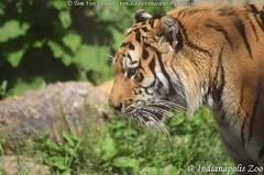 Siberische tijger - Panthera tigris altaica -  Siberian Tiger (MrTDiddy) Tags: siberische tijger panthera tigris altaica siberian tiger bigcat big cat grotekat grote kat feline zoogdier mammal indianapolis zoo indianapoliszoo indiana usa