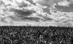 clouds and corn (Sky_PA (Catching up slowly- On/Off)) Tags: clouds corn field land landscape monochrome blackandwhite sky beautiful summer sunny amateurphotography farm canon canoneos rebelt6i t6i inspiredbylove skies lebanon pennsylvania stoeversdampark leaves light nature outdoors outdoor plants vegetation maze efs55250mmf456isstm