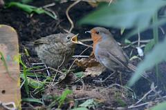 Robins (Richard.Creese) Tags: baby bird robin nikon erithacus 300mm rubecula d3100