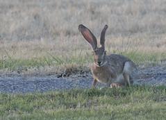 Texas Jack Rabbit (VisualUniverse) Tags: 3rf comanchespringsastronomycampus westtexas jackrabbit