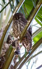 IMG_7843.jpg (M Bee) Tags: animals barkingowl bird