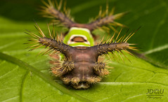 Un extrao y bello gusano. (Juan Diego Q U) Tags: gusano macro macrofotografa vida insecto verde acharia stimulea lente invertido