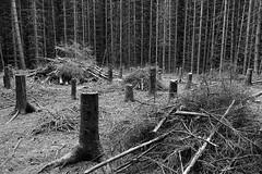 Dark Forest, Granite Ridge Trail, Killarney Provincial Park, Ontario, Canada (alex_7719) Tags: ontario canada killarneyprovincialpark killarney trees     forest treestumps  cutdowntrees
