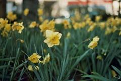 Amarelles (Lore Stars) Tags: analgica film amarelle narciso naturaleza nature bokeh dof daffodil garden flores flowers autochinon50mmf17 expired pentaxmv qss100