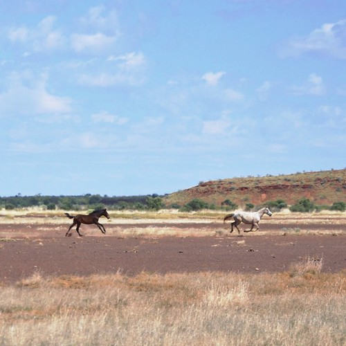 Wild horses of the Tanami Desert, WA