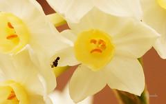 Sad Face Flower :'( (Constanza Romero L.) Tags: sony alpha chile gorbea sonyflickraward winter invierno nature naturaleza paisaje landscape flower flor sad face macro sadface