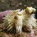 Indian collector urchin - Pseudoboletia indiana