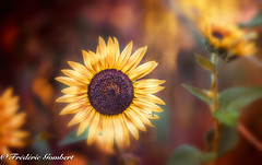 Summer heat : so hot Saturday (frederic.gombert) Tags: sunflower sun flower flowers light orange color colors green plant garden nikon d800 macro macrodreams greatphotographers sunlight