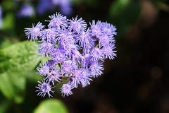 Ageratum (Jim Atkins Sr) Tags: ageratum sony a58 flossflower annual newbernnc nc northcarolina marykistlerstoneygarden tryonpalace