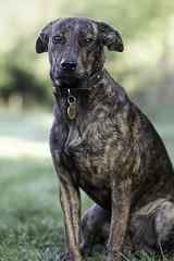 Leia (sameul58) Tags: ef85mmf18 eos60d portrait chien dog animal refuge chiot