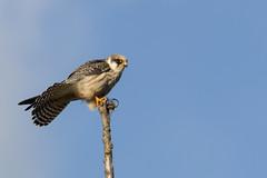 Roodpootvalk - Red-footed falcon (aaronmeijer2) Tags: canon eos 1200d bird animal noordhollandsduinreservaat duinen castricum nhd