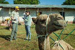 Maralal Camel Derby (4 of 93) (weldonwk) Tags: kenya camel deby maralal