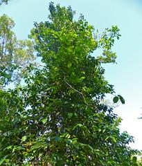 Buta Buta or Blind Your Eye (Excoecaria agallocha) (berniedup) Tags: sarawak malaysia borneo bako euphorbiaceae butabuta taxonomy:binomial=excoecariaagallocha excoecariaagallocha blindyoureye